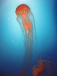 2012 jelly fish_6